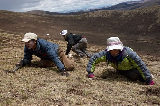 Cách dùng Đông trùng hạ thảo Tây Tạng để bồi bổ sức khỏe - khai thác tại cao nguyên