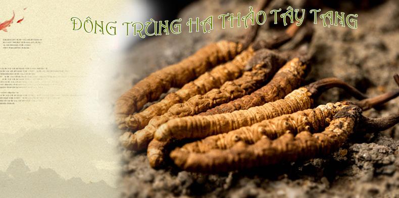 Con Đông Trùng Thiên Nhiên Tây Tạng